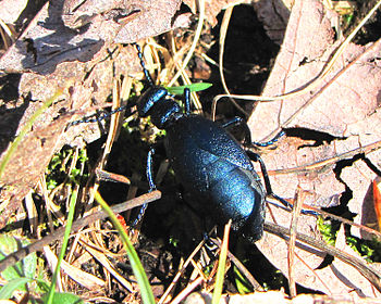 English: Short-winged Blister Beetle (Meloe an...