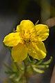 Shrubby Cinquefoil (Dasiphora fruticosa) - MacGregor Point Provincial Park 02.jpg