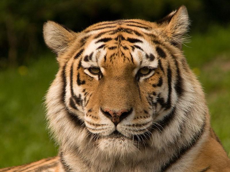 Soubor:Siberischer tiger de.jpg