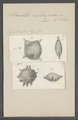 Siderolites calcitrapoides - - Print - Iconographia Zoologica - Special Collections University of Amsterdam - UBAINV0274 113 04 0013.tif