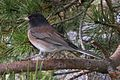 Sideways Junco (16644752859).jpg