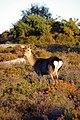Sika doe on lowland heath near Shipstal Point - geograph.org.uk - 275859.jpg