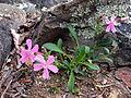 Silene caroliniana - Sticky Catchfly 2.jpg