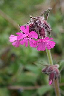 <i>Silene</i> Genus of flowering plants
