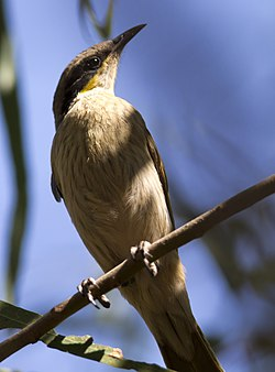 Singing honeyeater (7976065888).jpg