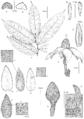 Sirdavidia solannona Couvreur & Sauquet illustrations.png