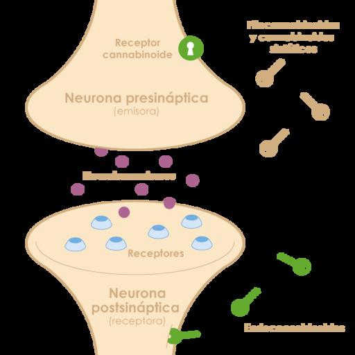 Sistema endocannabinoide