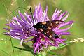 Six-spot burnet moth (Zygaena filipendulae) worn.jpg