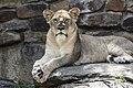 Skeptical lioness (Unsplash).jpg