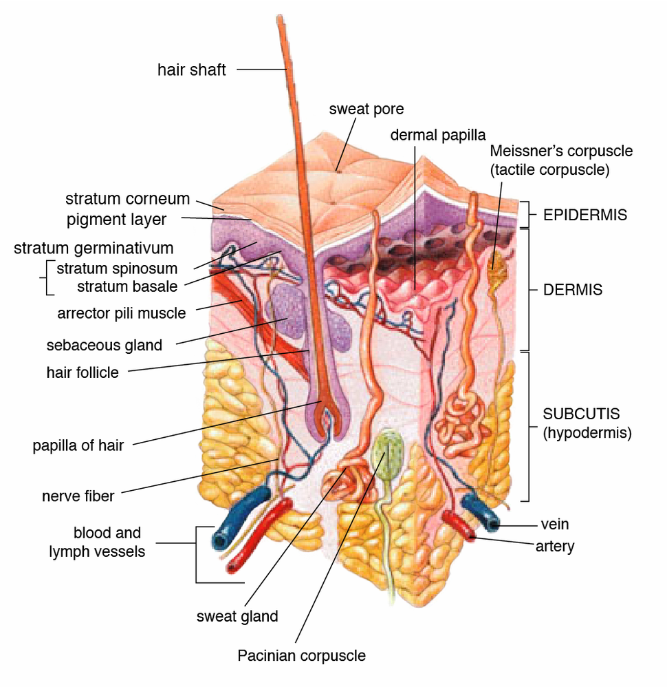 Cross-section of all skin layers