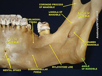 Angle of the mandible - Image: Slide 5oooo