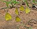 Small Grass Yellows (Eurema brigitta) & Common Grass Yellows (Eurema hecabe) mud-puddling in Talakona, AP W IMG 8649.jpg