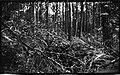 Small pine timber, near Edenton, North Carolina, May 10, 1927. (16236711501).jpg