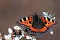 Small tortoiseshell butterfly (aglais urticae).jpg
