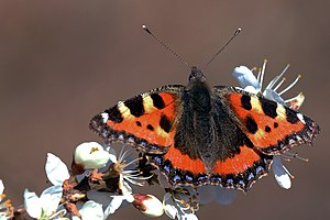Aglais - Small tortoiseshell (Aglais urticae) on blackthorn in Otmoor, Oxfordshire, England