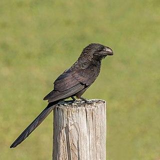 Smooth-billed ani Species of bird
