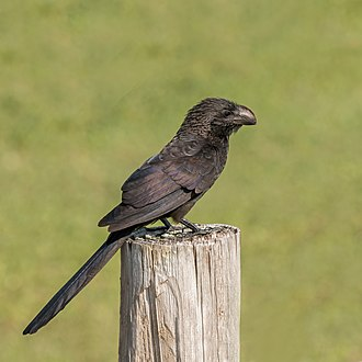 Smooth-billed ani - in Grand Cayman
