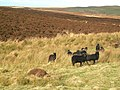 Soay Sheep - geograph.org.uk - 350799.jpg