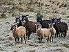 Soay sheep at Inverchor 2.jpg