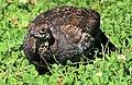 Sooty Grouse 3.jpg