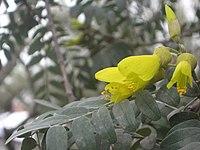 Sophora macrocarpa 6 7 08 009.jpg