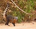 South American Coati (Nasua nasua) (48300353327).jpg