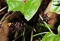 Southern Birdwing Troides minos Caterpillar by Dr. Raju Kasambe DSCN7370 (7).jpg