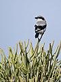 Southern Grey Shrike, Juan Grande, Gran Canaria.jpg