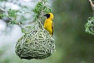 Southern masked weaver - A southern masked weaver on its nest.