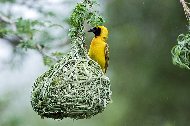 Masked Weaver building its nest in a Brazilian pepper tree! 800px-Southern_Masked_Weaver