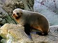 Southern New Zealand Fur Seal. (16262702189).jpg