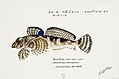 Southern Pacific fishes illustrations by F.E. Clarke 76.jpg