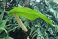 Spathiphyllum cochlearispathum kz04.jpg