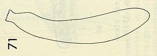 Kenkiidae Family of flatworms