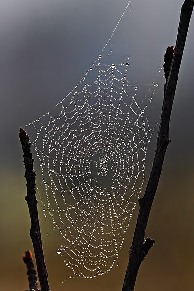 File:Spider web with dew drops.jpg