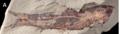 Spinocaudichthys specimen.png