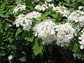 Spiraea chamaedryfolia var. pilosa 3.JPG