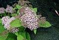 Spiraea fritschiana Pink Parasols 2zz.jpg