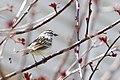 Spizella passerina, Pennsylvania (17018942270).jpg