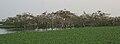 Spot-billed Pelicans, Black-headed Ibises & Painted Storks nesting at Garapadu, AP W IMG 5374.jpg
