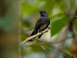 Spotted Fantail (13997658330).jpg