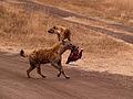 Spotted hyenas + skull.jpg