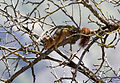 Squirrel - Sincap 01.jpg