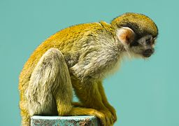 Squirrel monkey- fuji.jpg