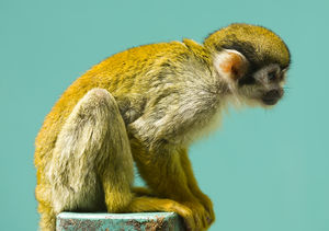A Squirrel Monkey at Fuji Safari park Japan