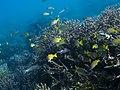 Staghorn coral, Bluestripe snapper and Intermediate cardinalfish (48737750932).jpg