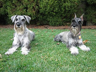 Standard Schnauzer - Two female Standard Schnauzers, natural ears on the left from a Canadian kennel, cropped ears on the right, from a U.S. kennel.