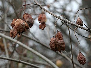 Staphylea trifolia SCA-9965.jpg