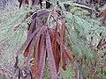 Starr-010206-0258-Leucaena leucocephala-seed pods-Kanaha Beach-Maui (24235572060).jpg