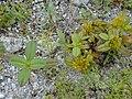 Starr-010520-0013-Flaveria trinervia-habit-Old road-Kure Atoll (24424393812).jpg